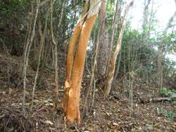 鹿が木の皮をはぐ